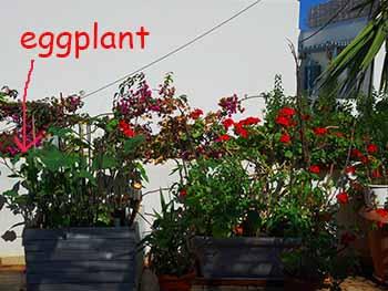 terrace eggplant