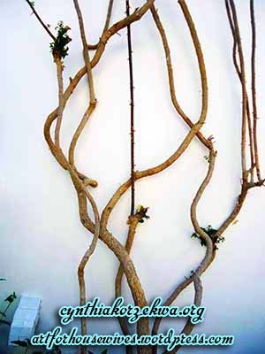 Umwelt bougainvillea one