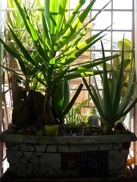 yucca at Los Ojos