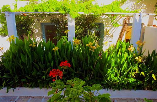 Angeliki's Canna Lilies