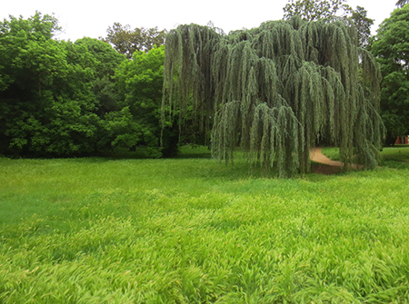 Weeping Willow at Villa Ada
